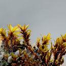 Image of wideleaf crumia moss
