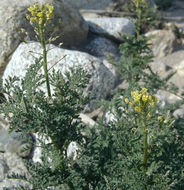 Image of western tansymustard
