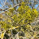 Image of Colorado Desert mistletoe