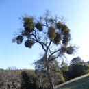 Image of Christmas mistletoe