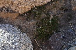 Image of desert spikemoss