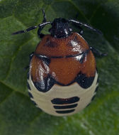 Image of <i>Tritomegas sexmaculatus</i> (Rambur 1839) Rambur 1839