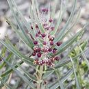 Image of bract milkweed