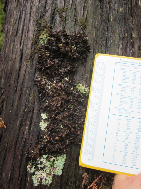 Image of Beauvois' spotted felt lichen