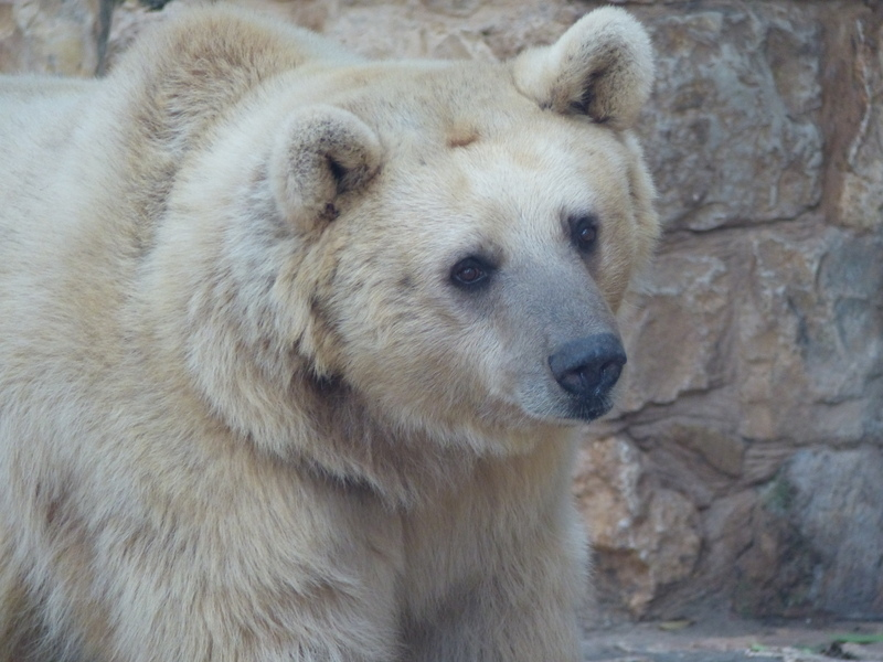 Image of Syrian brown bear
