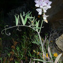 Image of Pacific pea