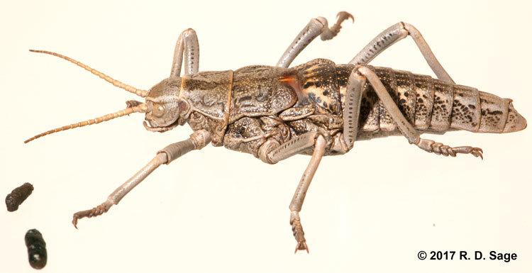 Image of <i>Agathemera claraziana</i> (Saussure 1868)