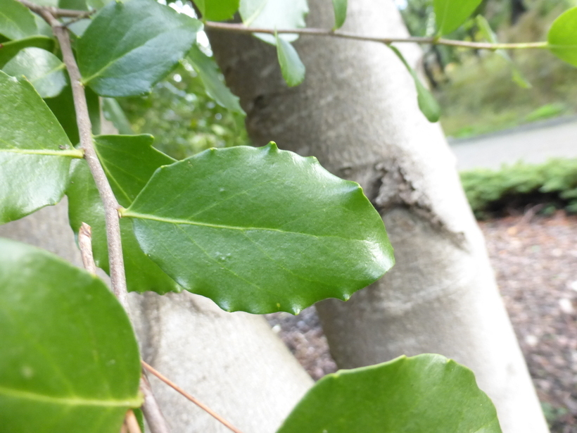 Image of soapbark