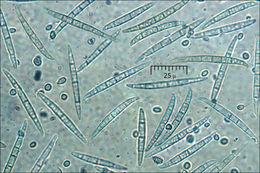 Image of <i>Clonostachys rosea</i> (Link) Schroers, Samuels, Seifert & W. Gams 1999