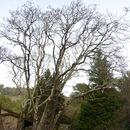 Image of Oregon white oak