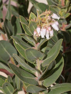 Image of Kings Mountain manzanita