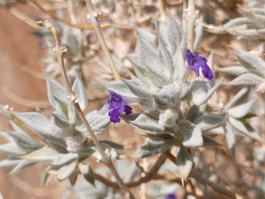Image of woolly sage