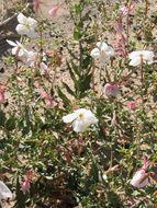 Image of pale evening primrose