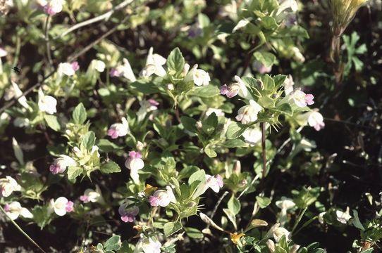 Image of San Mateo thorn-mint