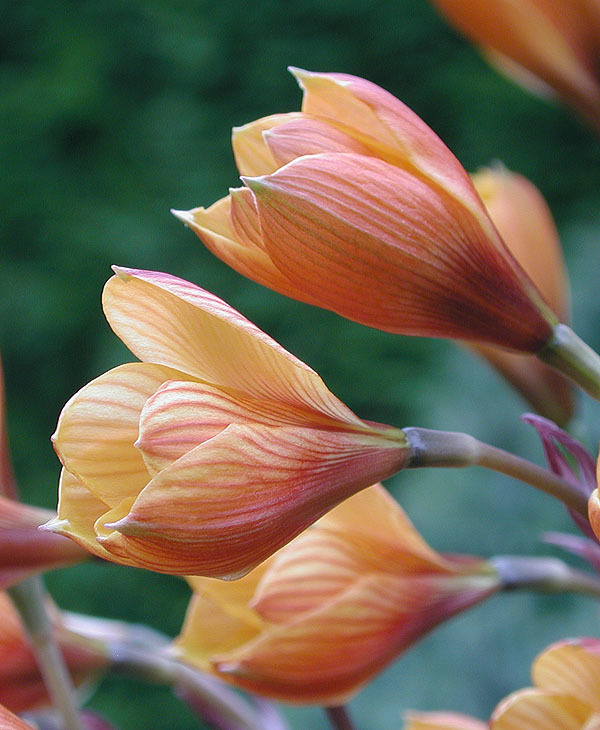Image of <i>Habranthus andersonii</i>