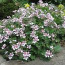 Image of <i>Erodium trifolium</i> (Cav.) Cav.