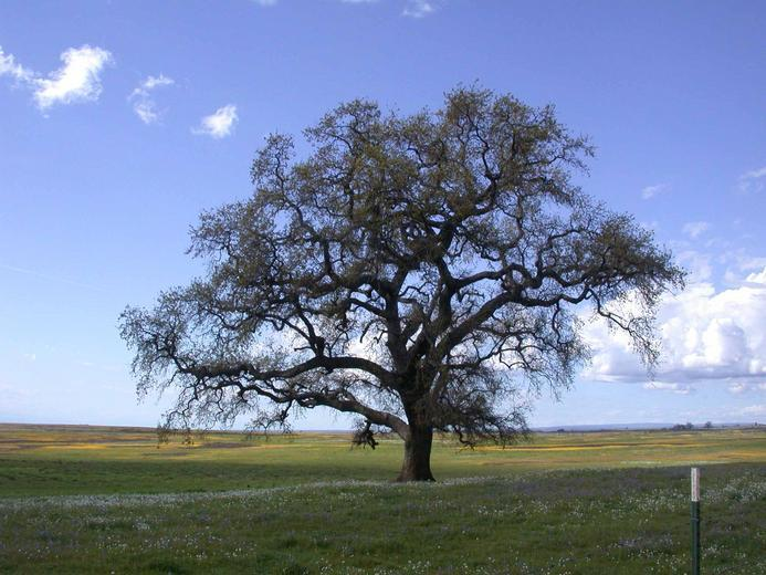 Image of valley oak