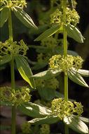 Image of <i>Cruciata glabra</i> (L.) Opiz