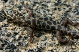 Image of Granite night lizard