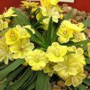 Image of <i>Lewisia cotyledon</i> ssp. <i>carousel</i>