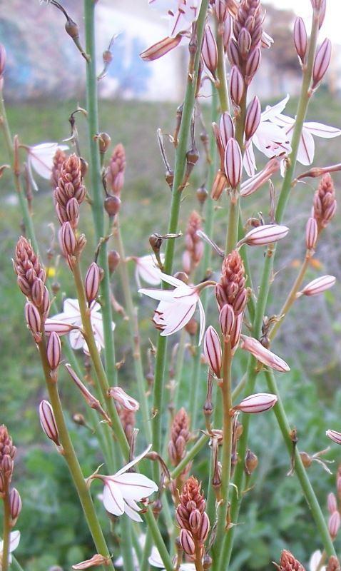 Image of onionweed