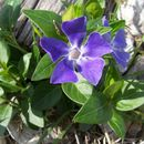 Image of Greater Periwinkle