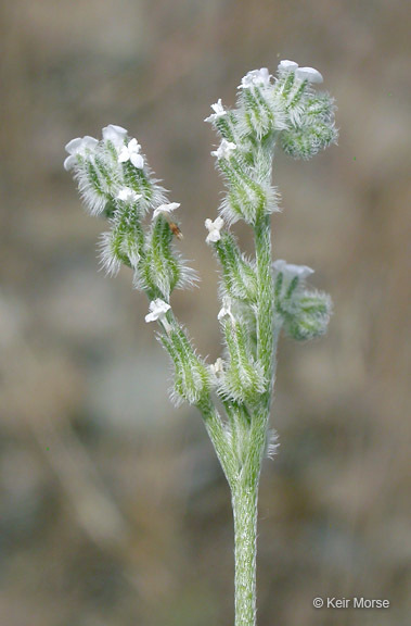 Image of weakstem cryptantha