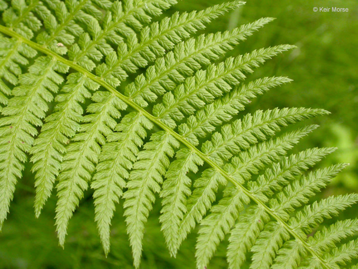 Image of subarctic ladyfern