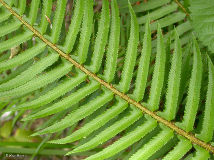 Image of western swordfern