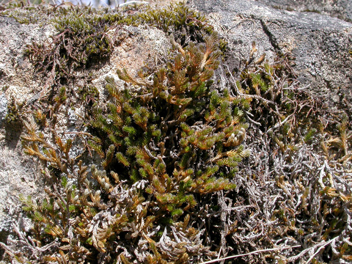 Image of Wallace's spikemoss