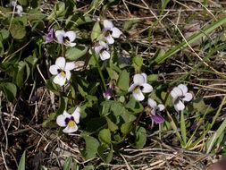 Image of wedgeleaf violet
