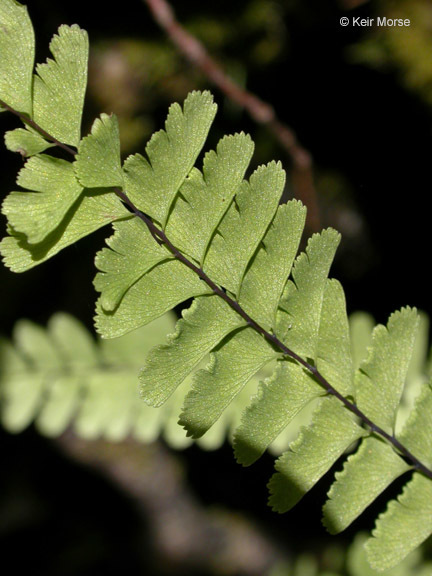 Image of Aleutian maidenhair