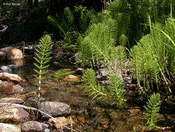 Image of giant horsetail