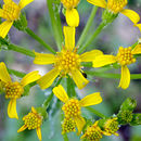 Image of ragwort