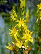 Image of California bog asphodel