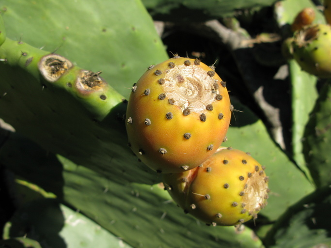 Image of Barbary Fig