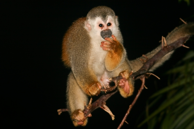 Image of Black-crowned Central American Squirrel Monkey