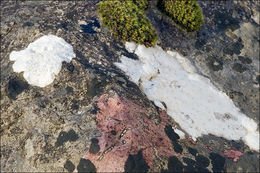 Imagem de <i>Aspicilia calcarea</i> (L.) Mudd