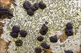Image of pencilmark lichen