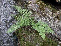Image of Rocky Mountain woodsia