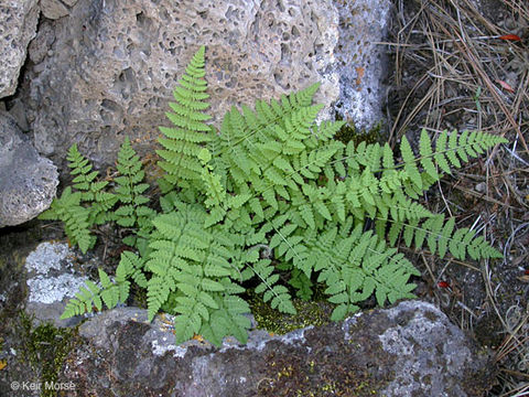 Image of <i>Woodsia scopulina</i> D. C. Eaton