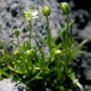 Image of arctic pearlwort