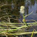 Image of Floating Bur-reed