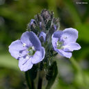 Image of American alpine speedwell