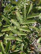 Image of Greene's Rowan