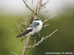 Image of White-winged Swallow