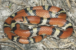 Image of Northern scarlet snake