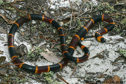 Image of Eastern Coral Snake