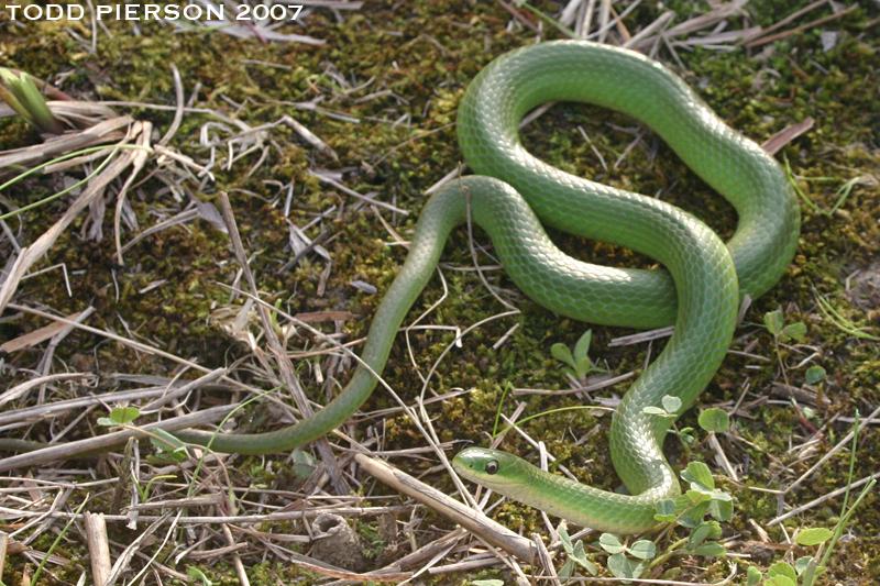 Image of Smooth green snake
