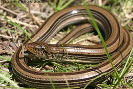 Image of Slender Glass Lizard